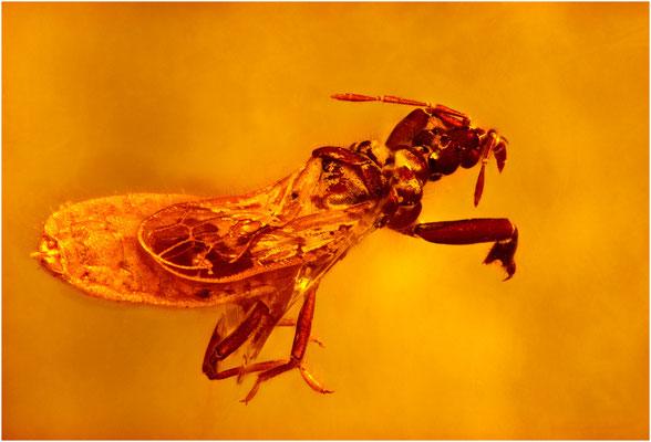 101. Heteroptera, Wanze, Dominican Amber