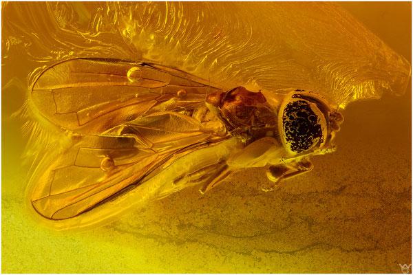 704, Syrphidae, Schwebefliege, Baltic Amber