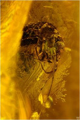 790, Archaeognatha, Felsenspringer, Baltic Amber