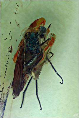 401. Brachycera, Fliege, Empididae, Tanzfliege, Baltic Amber