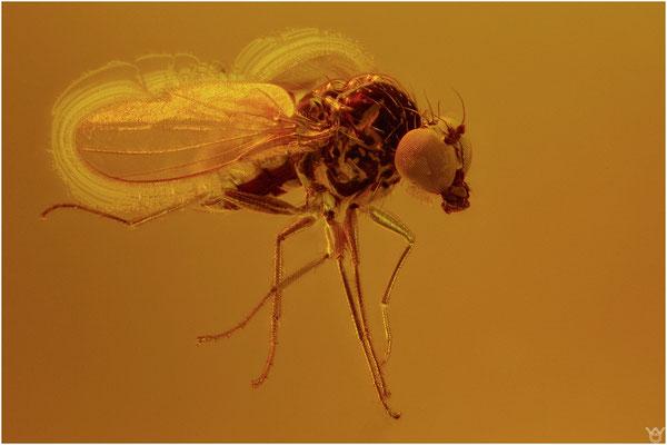 375. Brachycera, Fliege, Baltic Amber