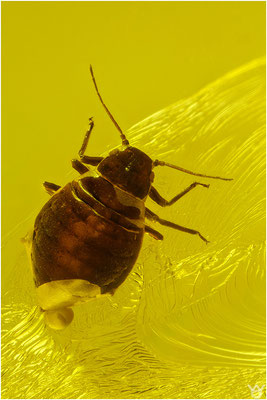 380. Aphidoidea, Blattlaus, Baltic Amber