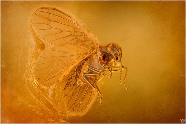392. Neuroptera, Netzflügler, Baltic Amber