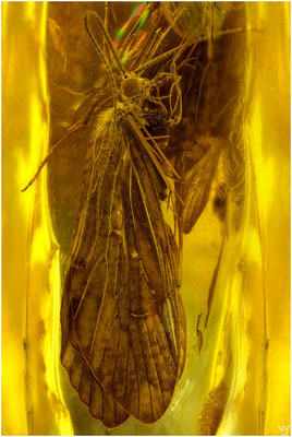 707b, Trichoptera, Köcherfliege, Baltic Amber