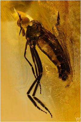 360. Brachycera, Fliege, Baltic Amber