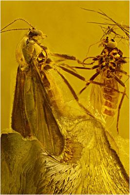 124. Chironomidae, Zuckmücke, Baltic Amber