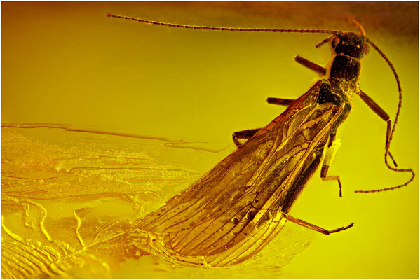 93. Plecoptera, Steinfliege, Baltic Amber