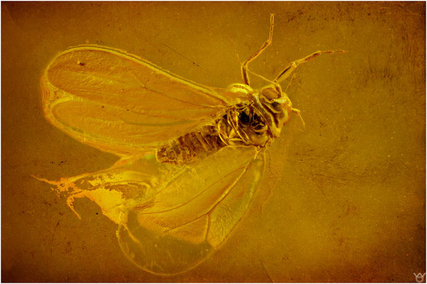 397. Aleyroidea, Weiße Fliege, Baltic Amber