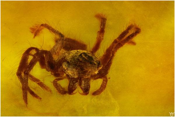 755a, Lagonomogopidae, Spinne, Burmese Amber