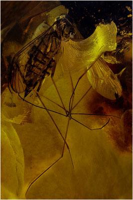 137. Limoniidae, Stelzmücke, Baltic Amber