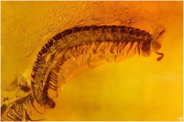 712, Julidae, Schnurfüßer, Baltic Amber