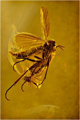 138. Mycetophilidae, Pilzmücke, Baltic Amber