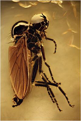 129. Hybothidae, Buckeltanzfliege, Baltic Amber