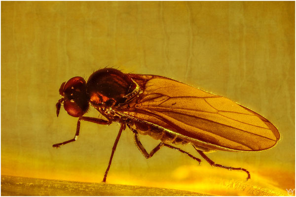 1418b, Hybotidae - Ocydromiinae, Buckeltanzfliege, Baltic Amber