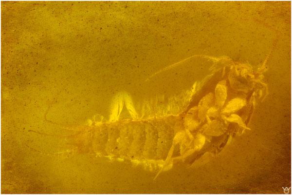 746, Archaeognatha, Felsenspringer, Burmese Amber