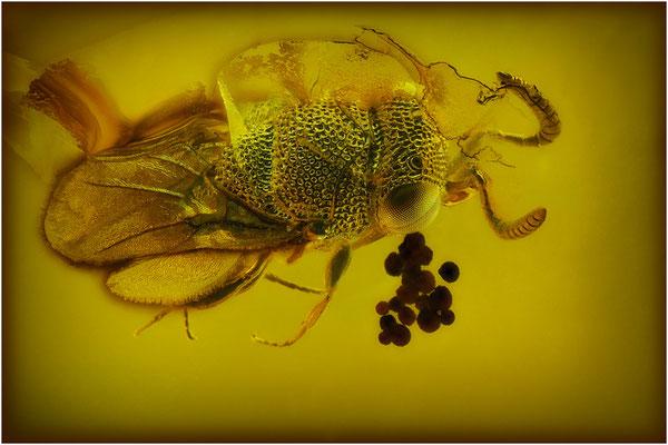 89. Scelionidae Archaeoscelio, Wespe, Baltic Amber