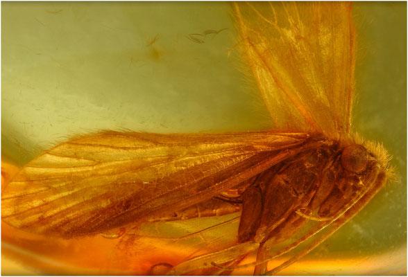 111. Trichoptera, Köcherfliege, Baltic Amber