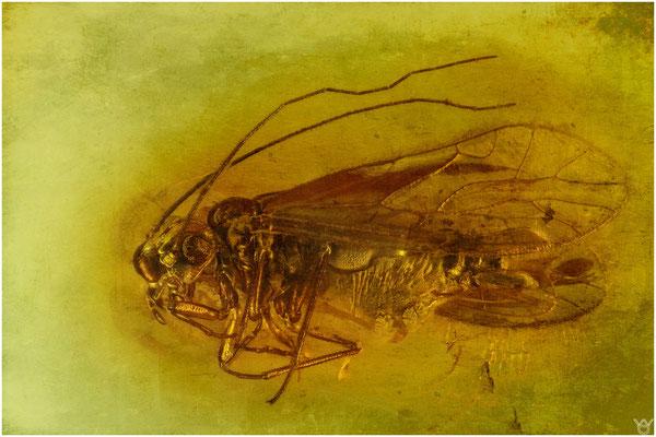1533, Psocoptera, Rindenlaus, Baltic Amber