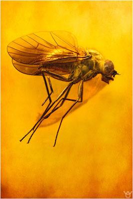 372. Brachycera, Fliege, Baltic Amber