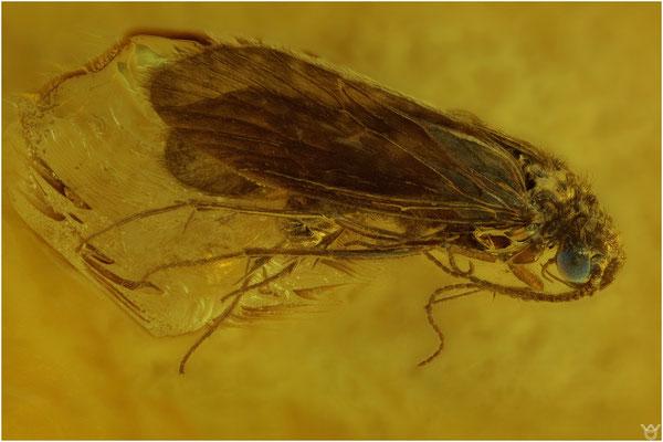 703, Trichoptera, Köcherfliege, Baltic Amber