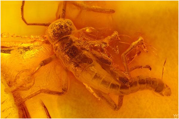 714, Phasmatodea, Starheuschrecke, Baltic Amber