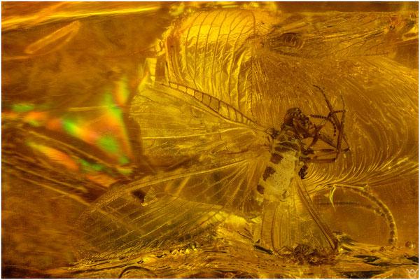 707a, Neuroptera, Netzflügler, Baltic Amber
