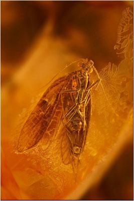 115. Trichoptera, Köcherfliege, Baltic Amber