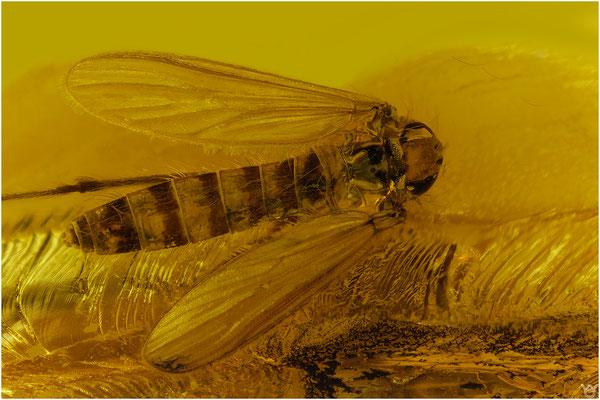 389. Tipulidae, Schnake, Baltic Amber