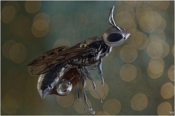 400. Dryinidae, Zikadenwespe, Baltic Amber