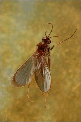 113. Nematocera, Mücke, Baltic Amber