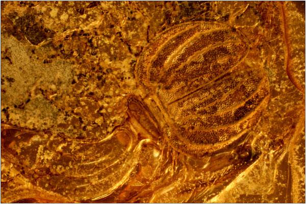 72c. Psocoptera, Staublaus, Sphaeropsocus kuenowii, Baltic Amber