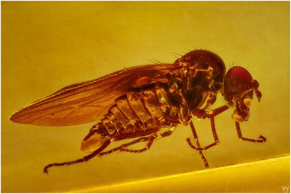 1418a, Hybotidae - Ocydromiinae, Buckeltanzfliege, Baltic Amber