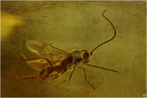 1694, Hymenoptera, Wespe, Baltic Amber