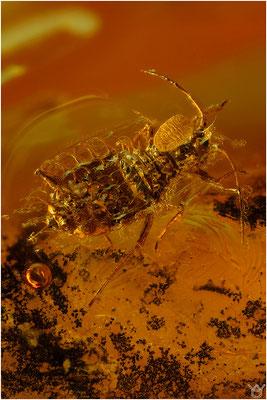 367. Aphidoidea, Blattlaus, Baltic Amber