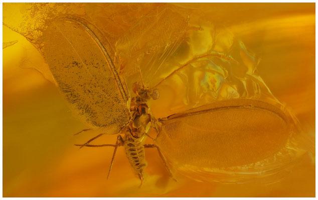 112. Coccoidea, Schildlaus, Matsucoccidae, Baltic Amber