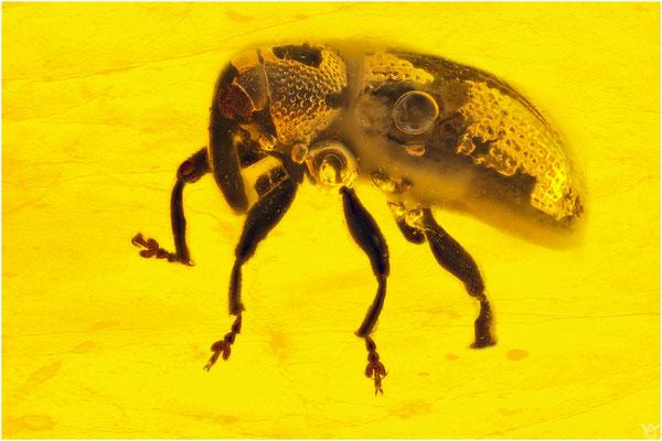 410. Curculionidae, Rüsselkäfer, Baltic Amber