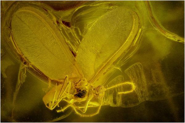 80. Coccoidea, Schildlaus, Baltic Amber