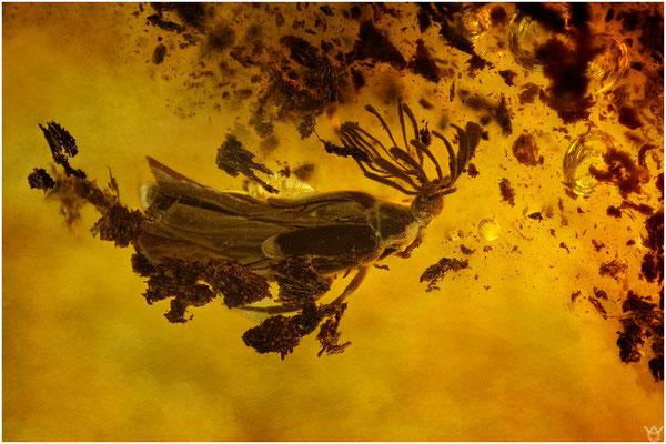 760, Ripiphoridae, Fächerflügelkäfer, Baltic Amber