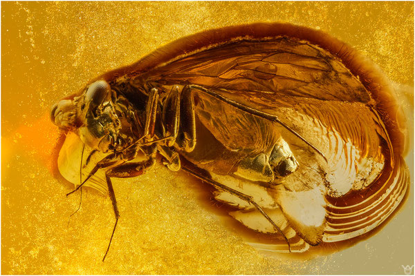 373. Psocoptera, Staublaus, Baltic Amber