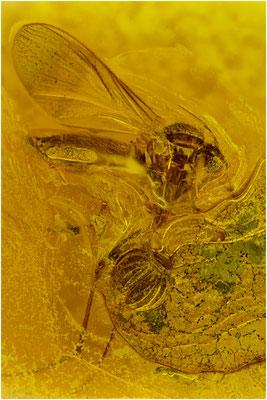 72a. Psocopptera, Staublaus, Sphaeropsocus kuenowii,  Nematocera, Mücke, Baltic Amber