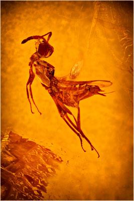 102. Eupelmidae, Wespe, Dominican Amber