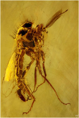 1534, Ceratopogonidae, Gnitze, Baltic Amber