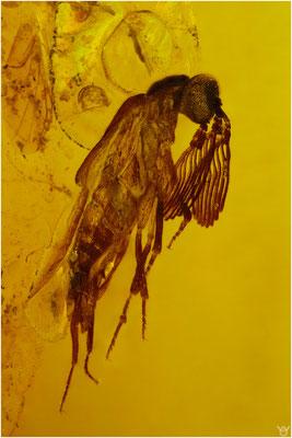 702, Rhipiphoridae, Fächerkäfer, Burmese Amber