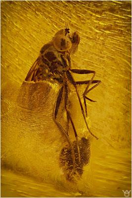 377. Brachycera, Fliege, Baltic Amber
