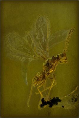 133. Mymaridae, Zwergwespe, Baltic Amber