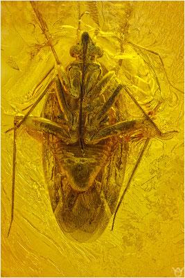 371. Heteroptera, Wanze, Baltic Amber