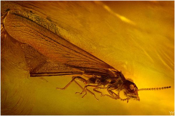 734, Isoptera, Termite, Baltic Amber