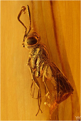 390. Hymenoptera, Wespe, Baltic Amber