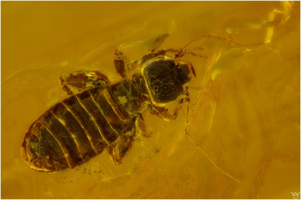 832, Psocoptera, Staublaus, Baltic Amber