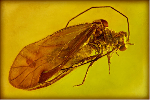 75. Psocoptera, Staublaus, Baltic Amber
